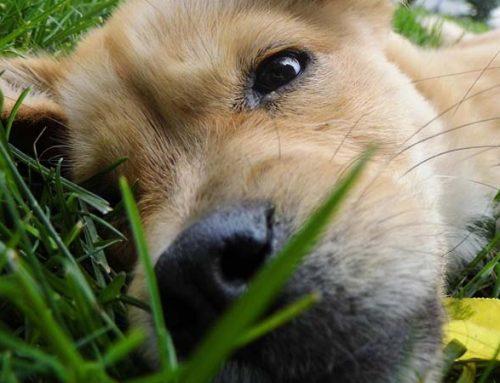 Leishmaniasis en perros: síntomas, prevención y tratamiento