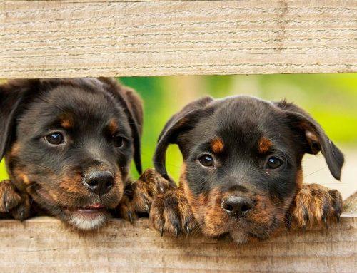 Cómo destetar los cachorros sin que le dé mastitis a la perra