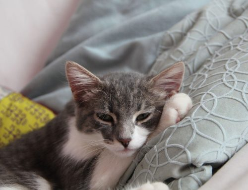 Cómo detectar leucemia en tu gato