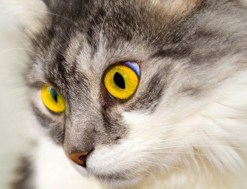 Ventajas de esterilizar a tu gato