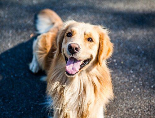¿Qué es el microchip? ¿Por qué tu perro debe llevarlo?