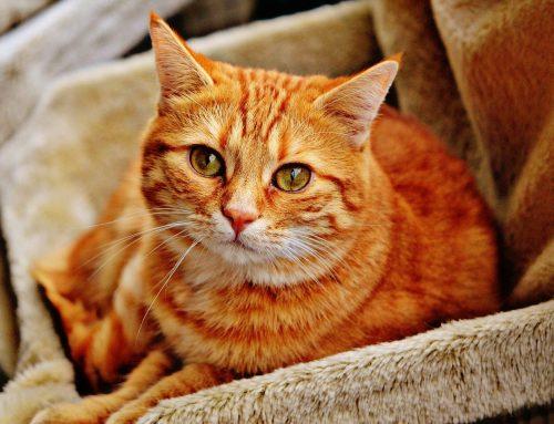 ¿Cómo tratar la enfermedad renal en los gatos?