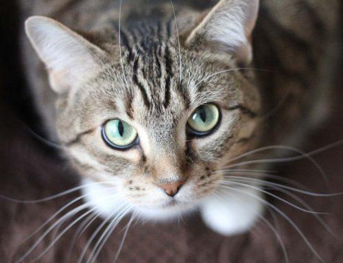 ¿Son comunes las arcadas por bolas de pelo en los gatos?