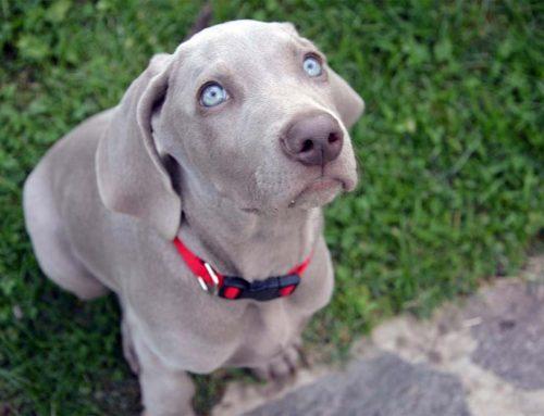 ¿Los perros pueden tener diabetes?