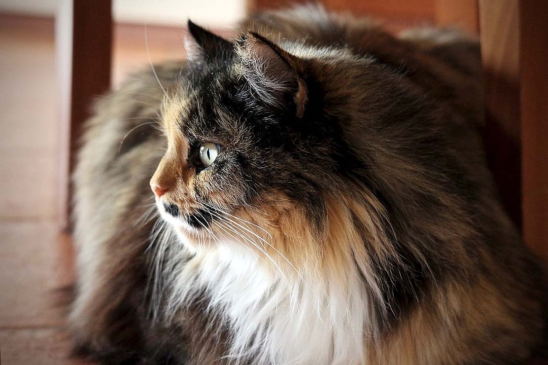 ¿Es cierto que en primavera los gatos sueltan más pelo?