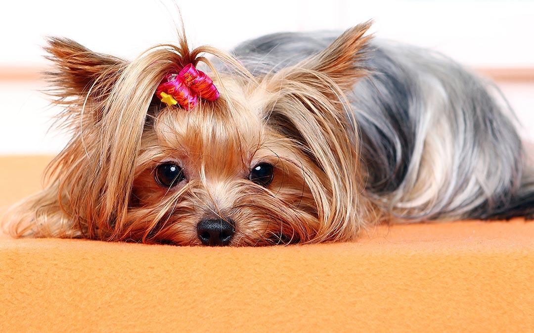 perro en casa cuarentena