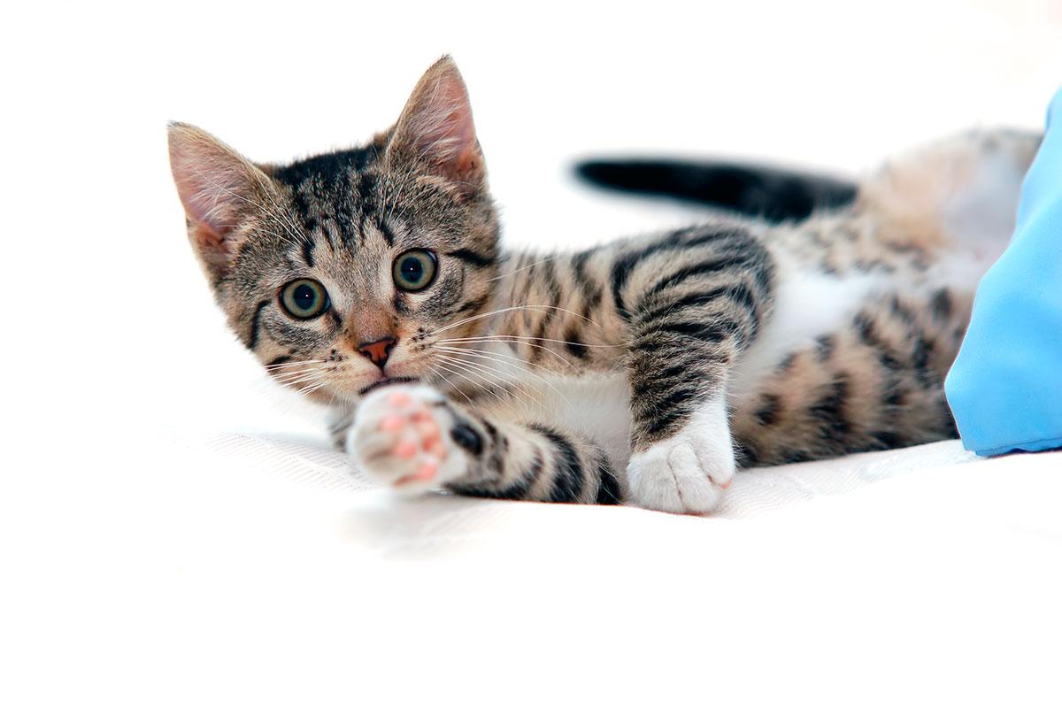 gatito asma