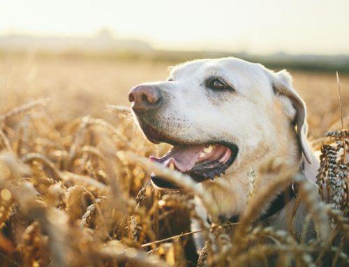 ¿Los perros también sudan?
