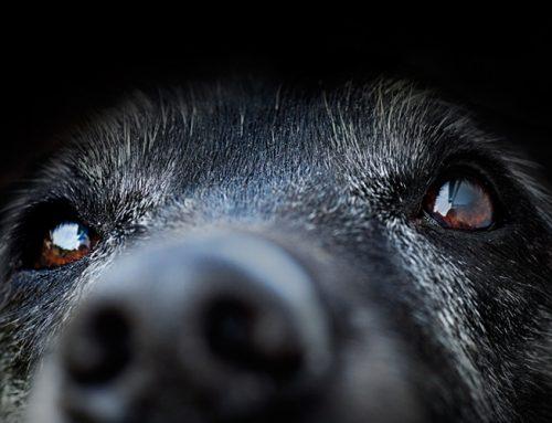 Qué tener en cuenta cuando tienes un perro senior