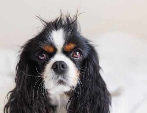 5 claves para cuidar el pelo de tu perro