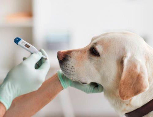 Temperatura normal en perros y gatos