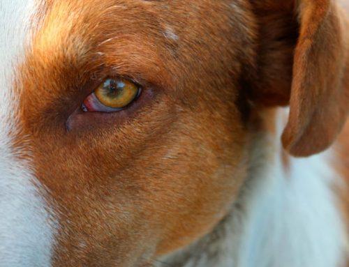 La conjuntivitis en perros. Cómo afecta el verano.